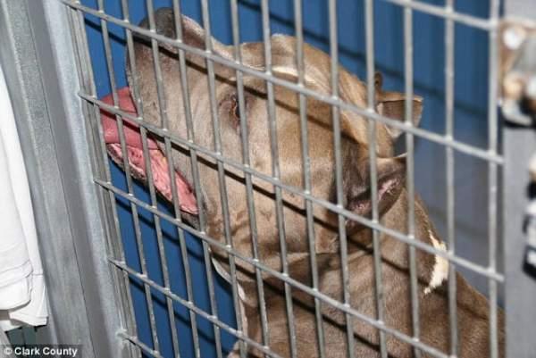 Mỹ: Chó pit bull nhà nuôi vồ đến chết bé gái 6 tháng 2