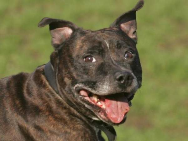 Mỹ: Chó pit bull nhà nuôi vồ đến chết bé gái 6 tháng 4