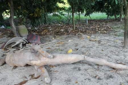 Nông dân đào trúng củ sắn dài hơn 2m, có hình thù giống người cá 1