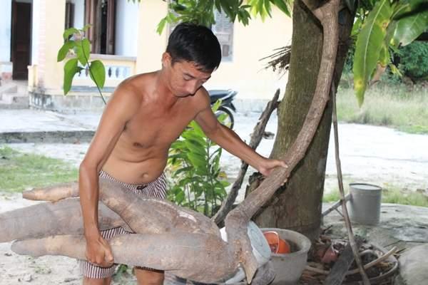 Nông dân đào trúng củ sắn dài hơn 2m, có hình thù giống người cá 3