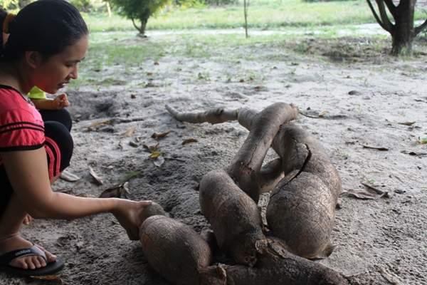Nông dân đào trúng củ sắn dài hơn 2m, có hình thù giống người cá 2
