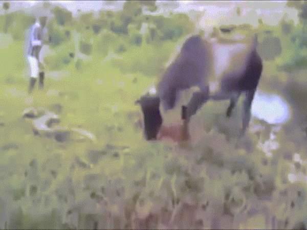 """Video: Trăn """"khủng"""" dài 4 mét đại náo sân golf ở Nam Phi 3"""