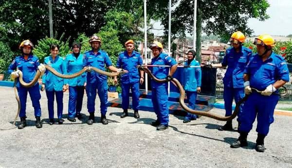 Malaysia: Dân khiếp hãi vì hổ mang chúa khổng lồ dài 6m 1