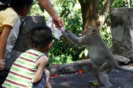 Chuyện kỳ lạ về đàn khỉ nương náu ngôi chùa ở Vũng Tàu 9