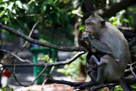 Chuyện kỳ lạ về đàn khỉ nương náu ngôi chùa ở Vũng Tàu 4