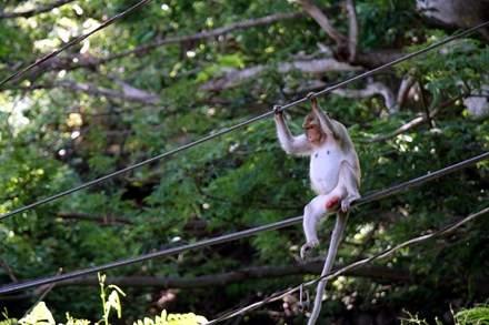 Chuyện kỳ lạ về đàn khỉ nương náu ngôi chùa ở Vũng Tàu 7