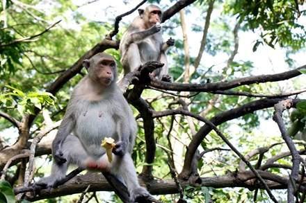 Chuyện kỳ lạ về đàn khỉ nương náu ngôi chùa ở Vũng Tàu 1