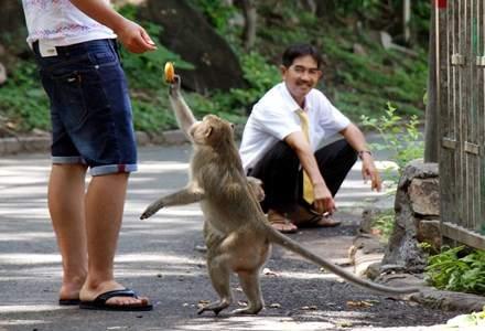 Chuyện kỳ lạ về đàn khỉ nương náu ngôi chùa ở Vũng Tàu 12
