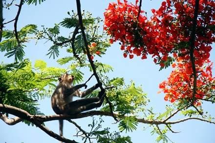 Chuyện kỳ lạ về đàn khỉ nương náu ngôi chùa ở Vũng Tàu 13
