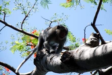 Chuyện kỳ lạ về đàn khỉ nương náu ngôi chùa ở Vũng Tàu 2