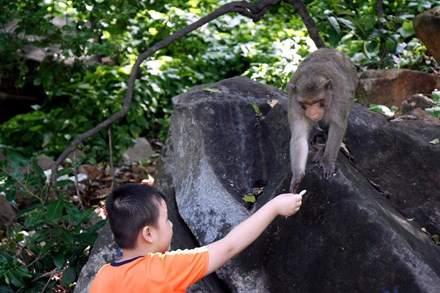 Chuyện kỳ lạ về đàn khỉ nương náu ngôi chùa ở Vũng Tàu 11