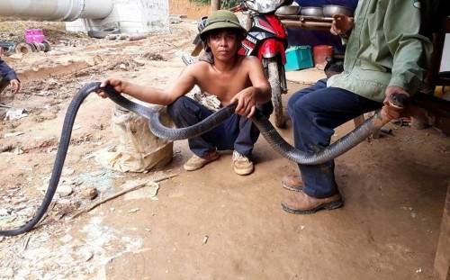 """Nóng 24h qua: Rắn hổ mang chúa dài hơn 3m đục bao tải  """"đào tẩu"""" vào rừng 1"""