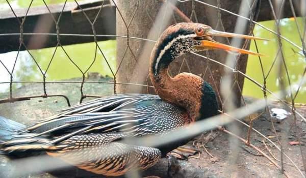 Bắt được chim lạ, cổ dài như cổ rắn ở Sài Gòn 1