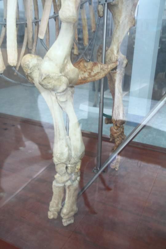 Chiêm ngưỡng bộ xương tê giác Java cuối cùng của Việt Nam 3