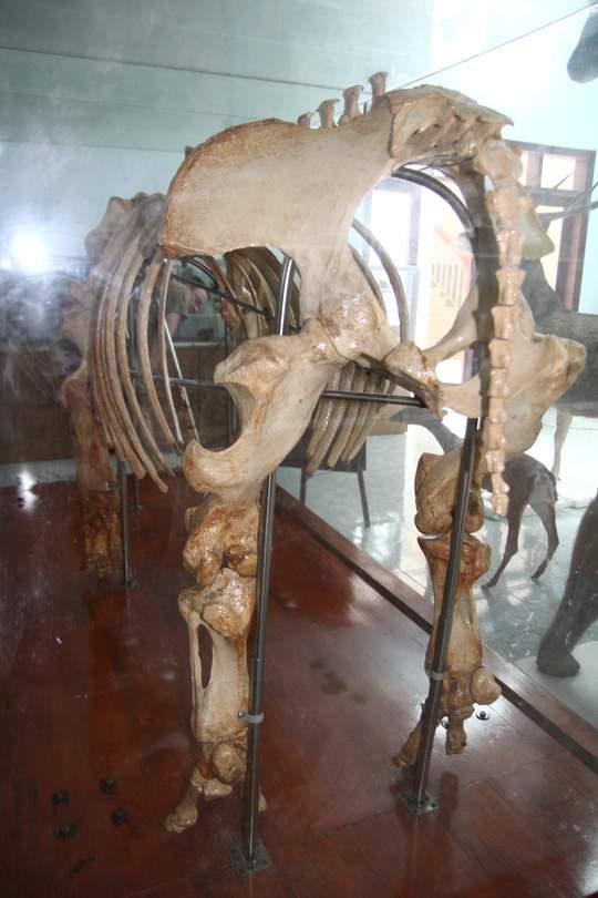 Chiêm ngưỡng bộ xương tê giác Java cuối cùng của Việt Nam 2