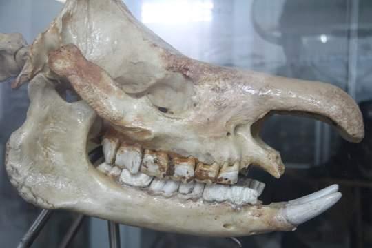 Chiêm ngưỡng bộ xương tê giác Java cuối cùng của Việt Nam 4