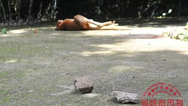 Phẫn nộ du khách Trung Quốc ném gạch chết chuột túi trong sở thú 1