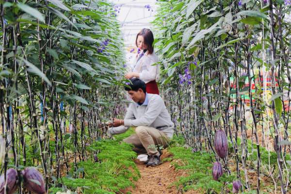 """Phát """"sốt"""" với vườn dưa pepino tím sai trĩu quả ở Đà Lạt 8"""