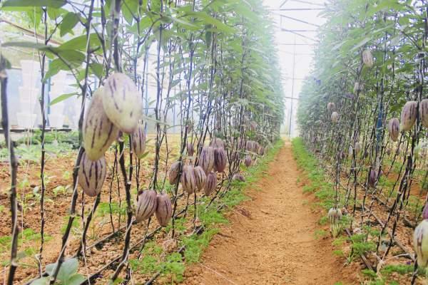 """Phát """"sốt"""" với vườn dưa pepino tím sai trĩu quả ở Đà Lạt 4"""