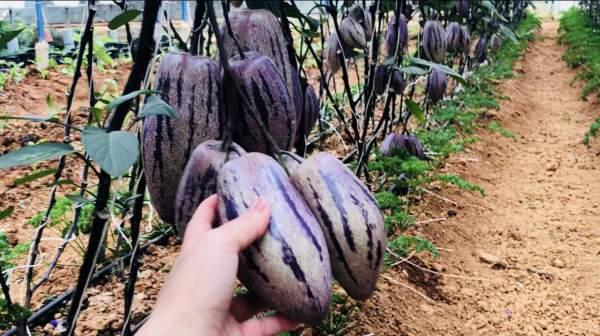 """Phát """"sốt"""" với vườn dưa pepino tím sai trĩu quả ở Đà Lạt 3"""