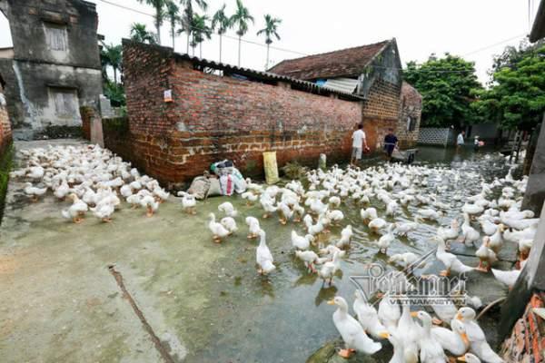 Vợ chồng ông chủ ngày ngày chèo thuyền thăm 100 con lợn đi lánh lũ 10