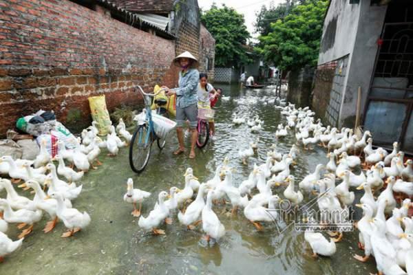 Vợ chồng ông chủ ngày ngày chèo thuyền thăm 100 con lợn đi lánh lũ 9