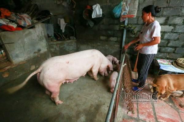 Vợ chồng ông chủ ngày ngày chèo thuyền thăm 100 con lợn đi lánh lũ 4