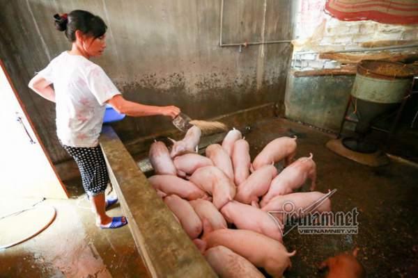 Vợ chồng ông chủ ngày ngày chèo thuyền thăm 100 con lợn đi lánh lũ 8