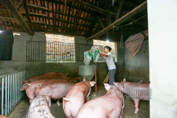Vợ chồng ông chủ ngày ngày chèo thuyền thăm 100 con lợn đi lánh lũ 2