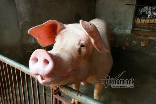 Vợ chồng ông chủ ngày ngày chèo thuyền thăm 100 con lợn đi lánh lũ 7