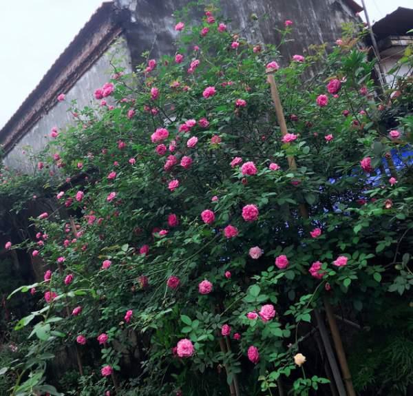 Ngỡ ngàng với ngôi nhà hoa hồng đẹp như cổ tích của ông bố trẻ ở Hưng Yên 8