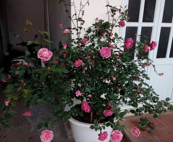 Ngỡ ngàng với ngôi nhà hoa hồng đẹp như cổ tích của ông bố trẻ ở Hưng Yên 3