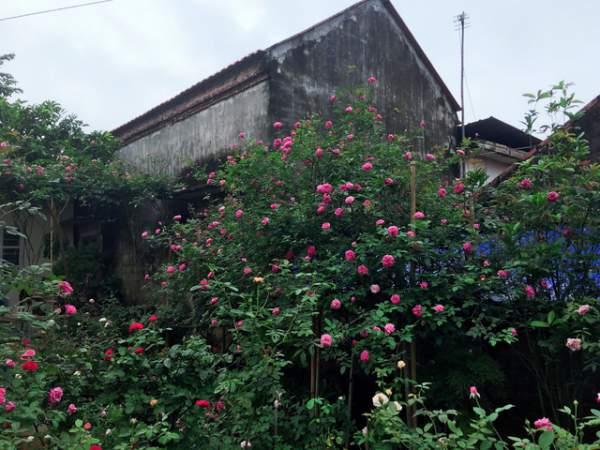 Ngỡ ngàng với ngôi nhà hoa hồng đẹp như cổ tích của ông bố trẻ ở Hưng Yên 2