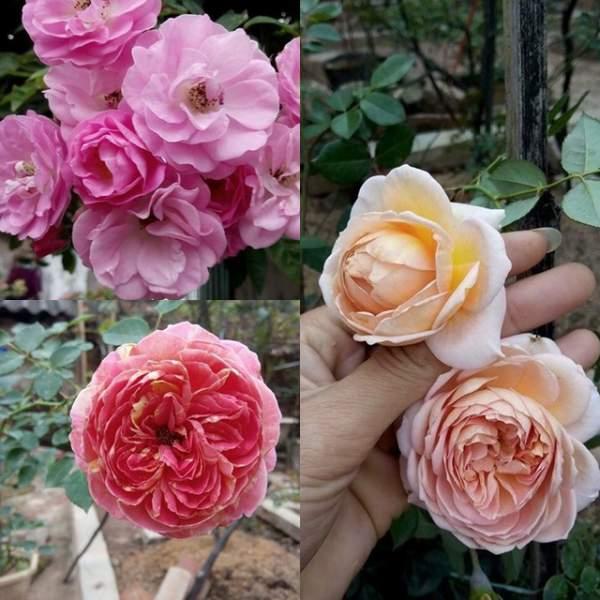 Ngỡ ngàng với ngôi nhà hoa hồng đẹp như cổ tích của ông bố trẻ ở Hưng Yên 10