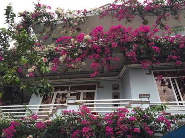 Quảng Ngãi: Giàn hoa giấy tuyệt đẹp phủ kín ngôi nhà 3 tầng 2