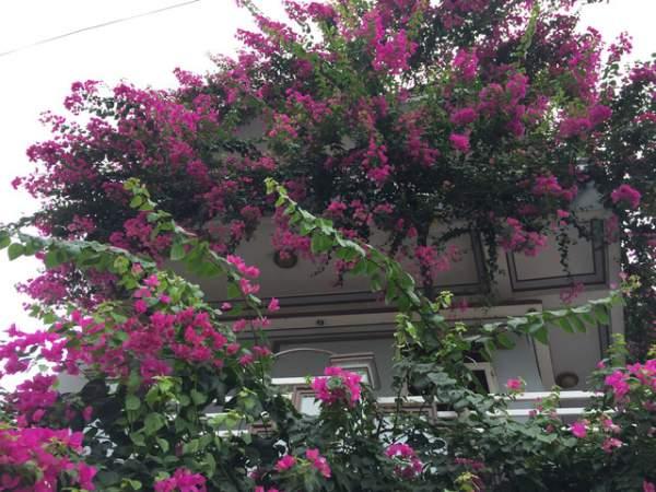 Quảng Ngãi: Giàn hoa giấy tuyệt đẹp phủ kín ngôi nhà 3 tầng 4