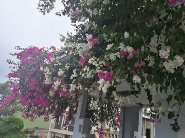 Quảng Ngãi: Giàn hoa giấy tuyệt đẹp phủ kín ngôi nhà 3 tầng 6